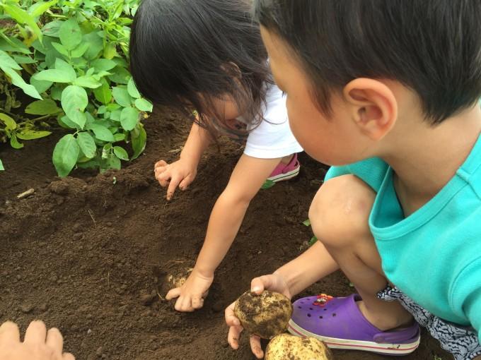 有野実苑でジャガイモ掘り