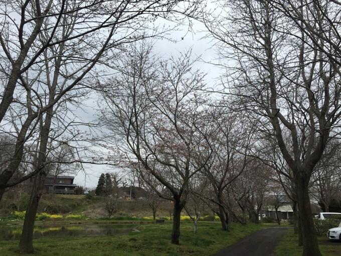 桜満開ならずなイレブンオート