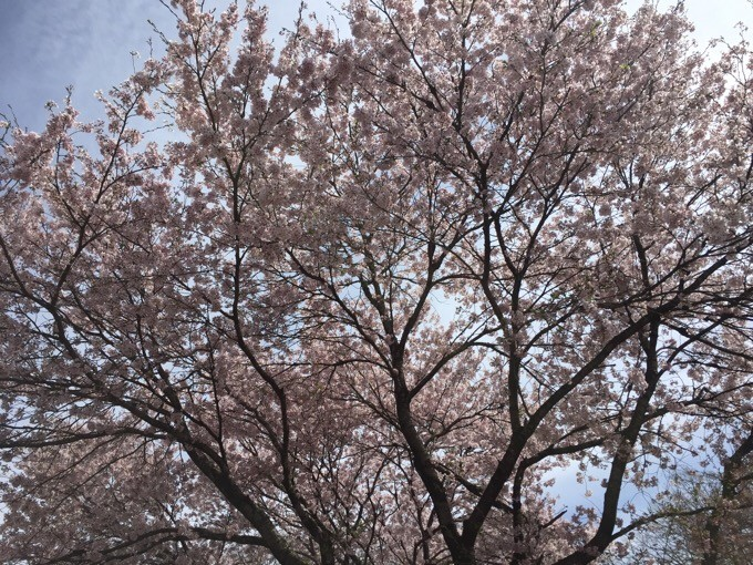 山梨の桜も満開