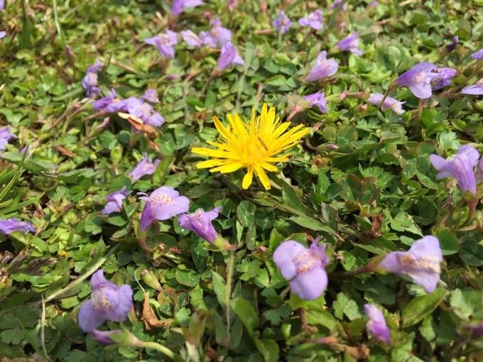 NSPの芝生に咲く花