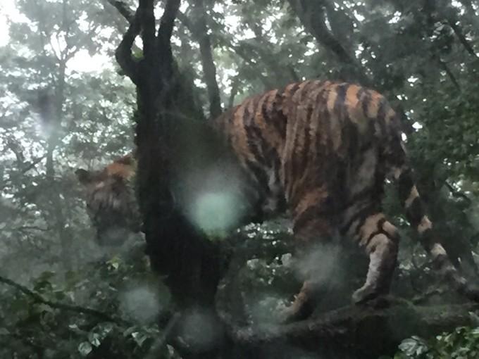 トラは雨が大好きらしい