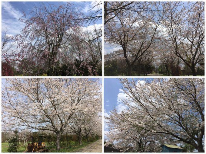 イレブンオートの開花状況2017年4月15日