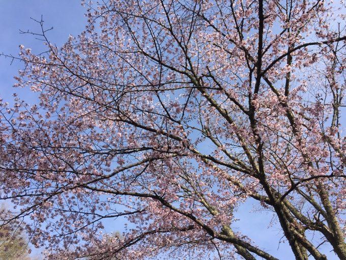 ゴールデンウィークの軽井沢はサクラが開花する時期