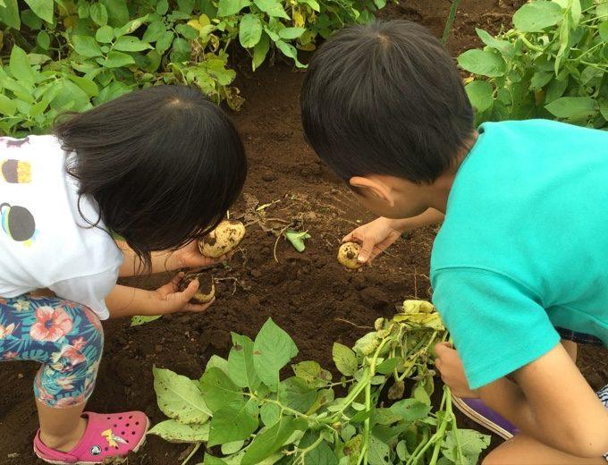 有野実苑でジャガイモ収穫体験