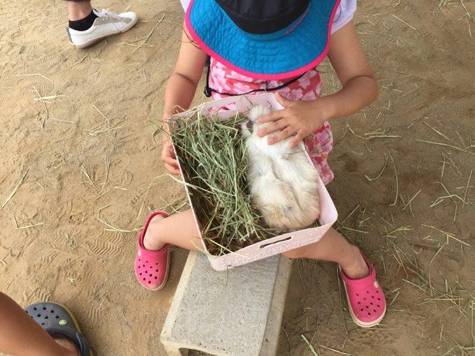 成田ゆめ牧場に来るといつもモルモットと戯れる