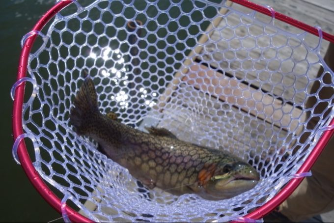 釣り上げたニジマスは比較的大きなサイズ