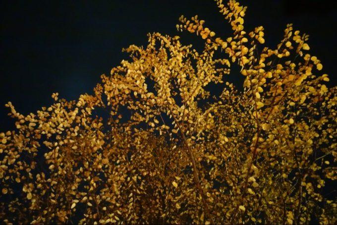 スウィートグラスの夜の紅葉も一段と美しい