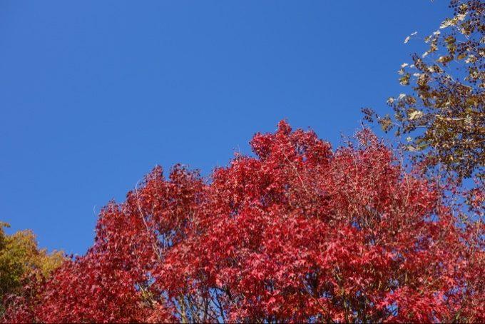 大子グリンヴィラ場内の紅葉が赤くて美しい