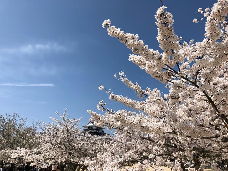 松山城と桜のコンビネーションが見事