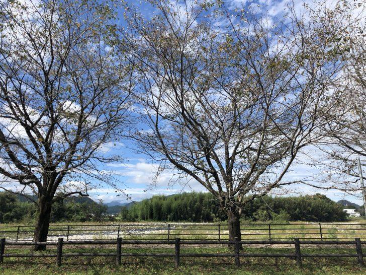 出会いの森総合公園オートキャンプ場の桜並木