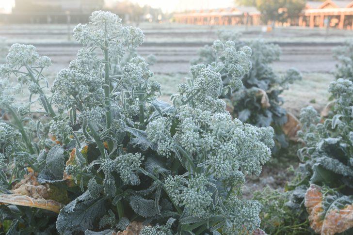農園に霜が降りテントが凍るほど冷え込んだ朝
