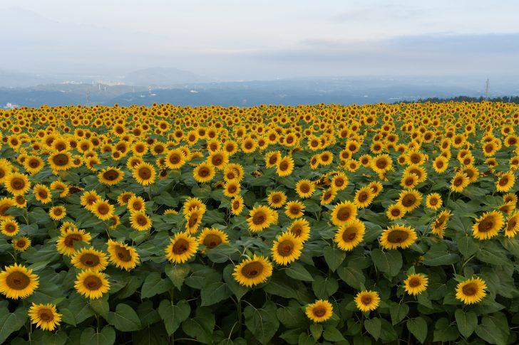 北杜市明野サンフラワーフェス2019のひまわり畑