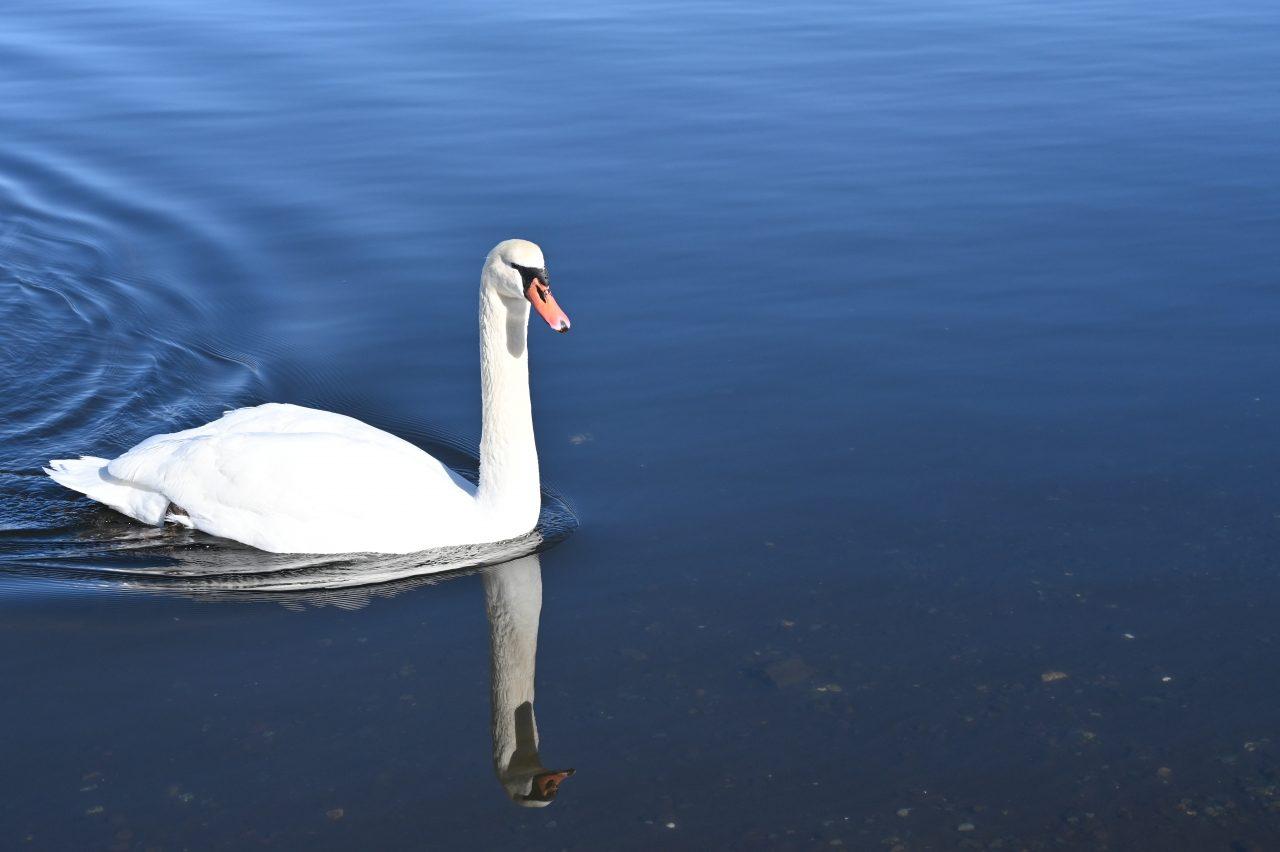 山中湖の湖畔で白鳥と戯れる