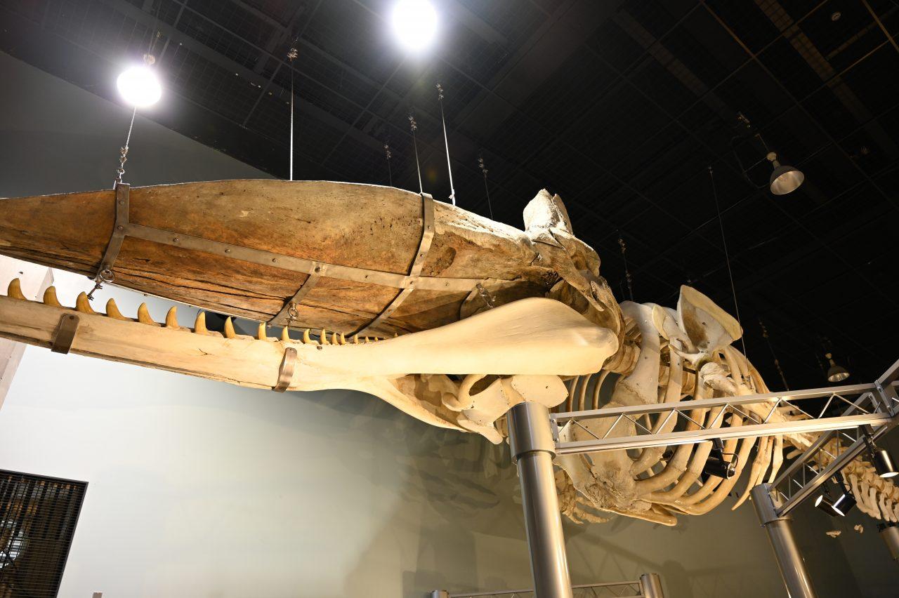 鯨と海の科学館に展示されている実物骨格標本