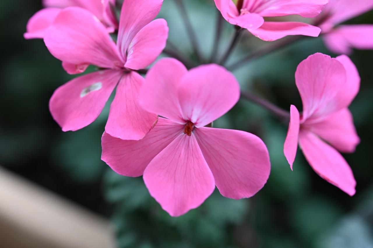 マクロレンズでプランターの花を撮影