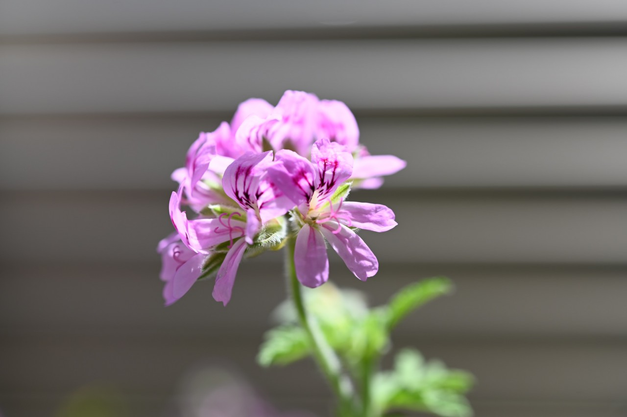 ベランダに咲いている花をマクロレンズで撮ってみる