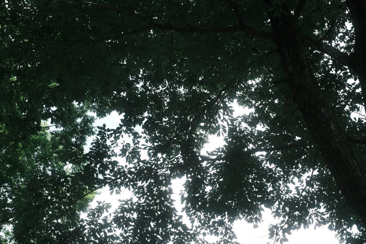 クラシックネガとブラックミストで撮る木漏れ日